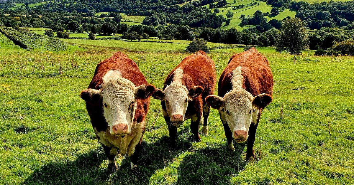 Garlic cattle feed that reduces cow burps could save planet