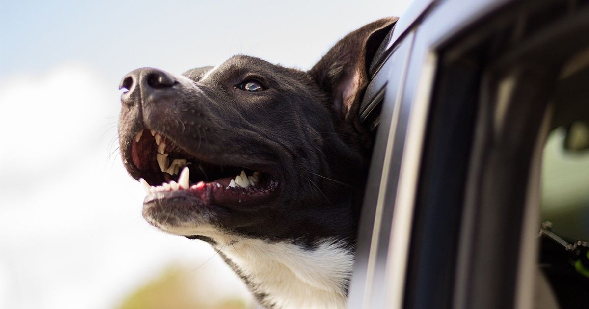 Mistake when putting your dog in a car could cause serious injury