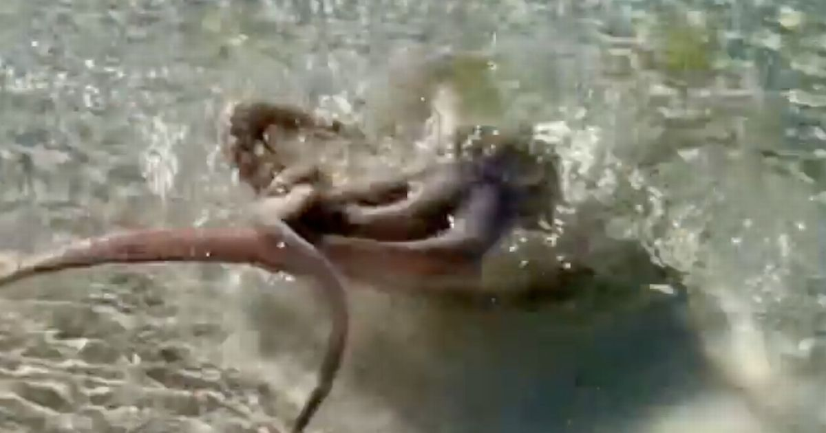Octopus launches at man then wraps tentacles around his neck on beach