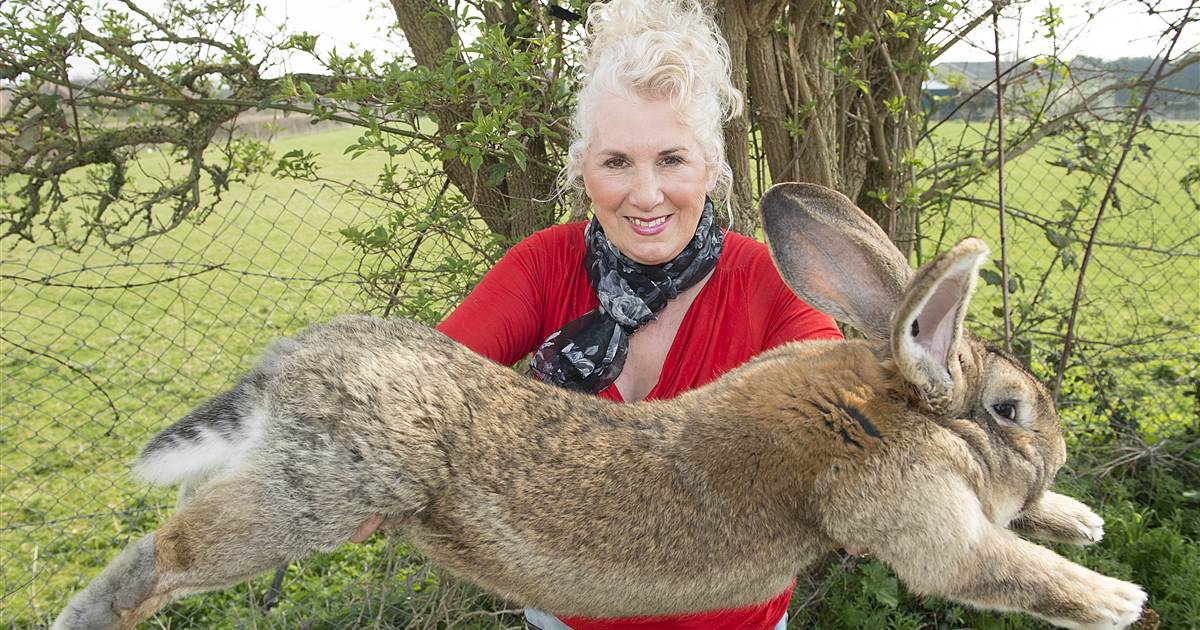 Police hunt rabbit thief after giant celebrity pet goes missing