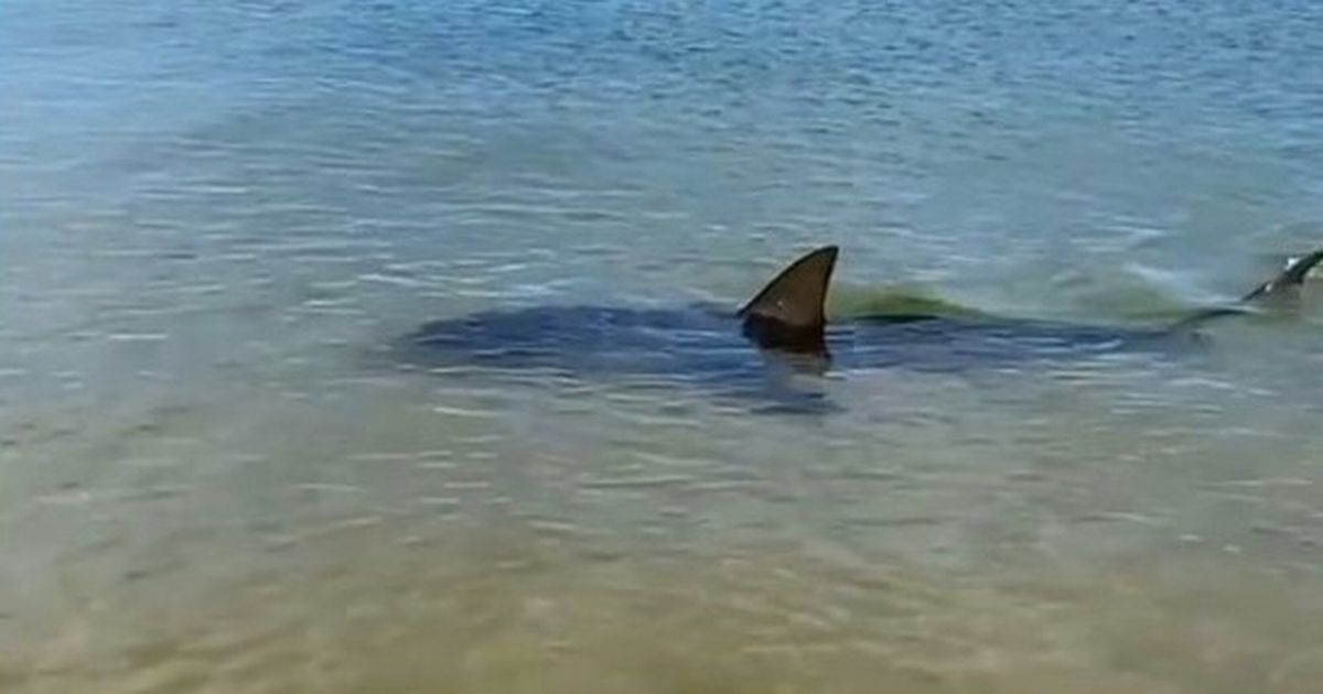 Terrifying moment 6ft shark comes within metres of swimmers as they flee the sea