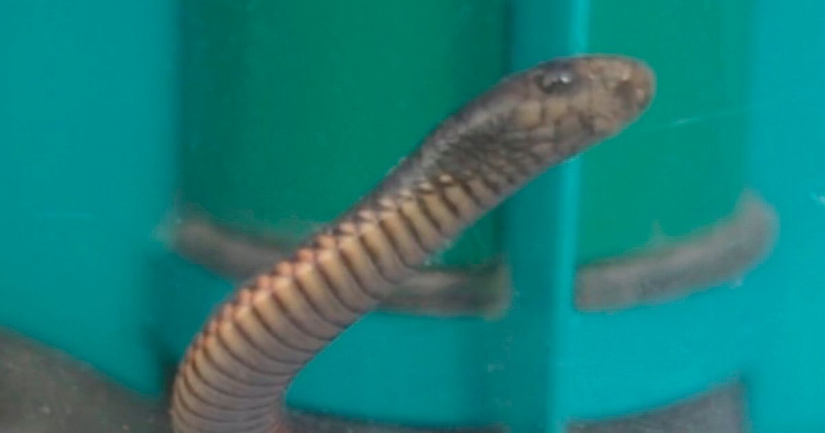 Venomous snake rescued from vacuum cleaner after homeowner sucked up reptile