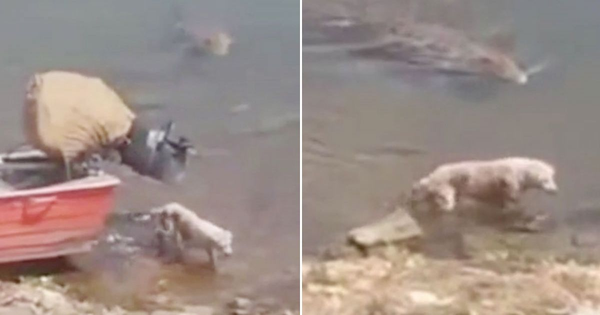 Horror moment lurking crocodile drags drinking dog from river bank to its death