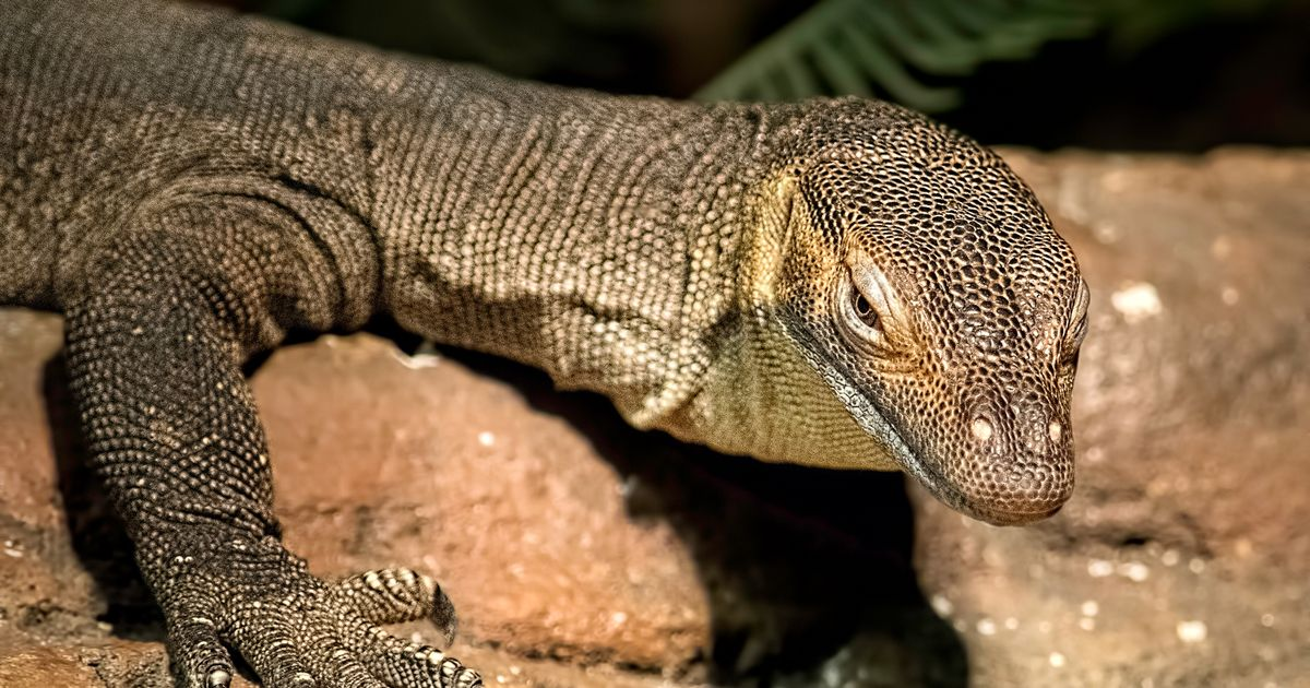 Scientists investigating lizard blood to see if it can cure Covid or cancer