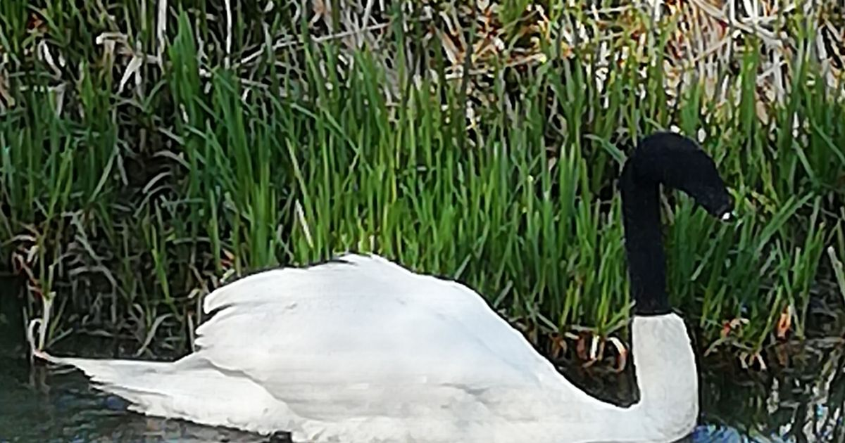 Swan rescued after 'mindless prank' where sock was pulled over bird's head