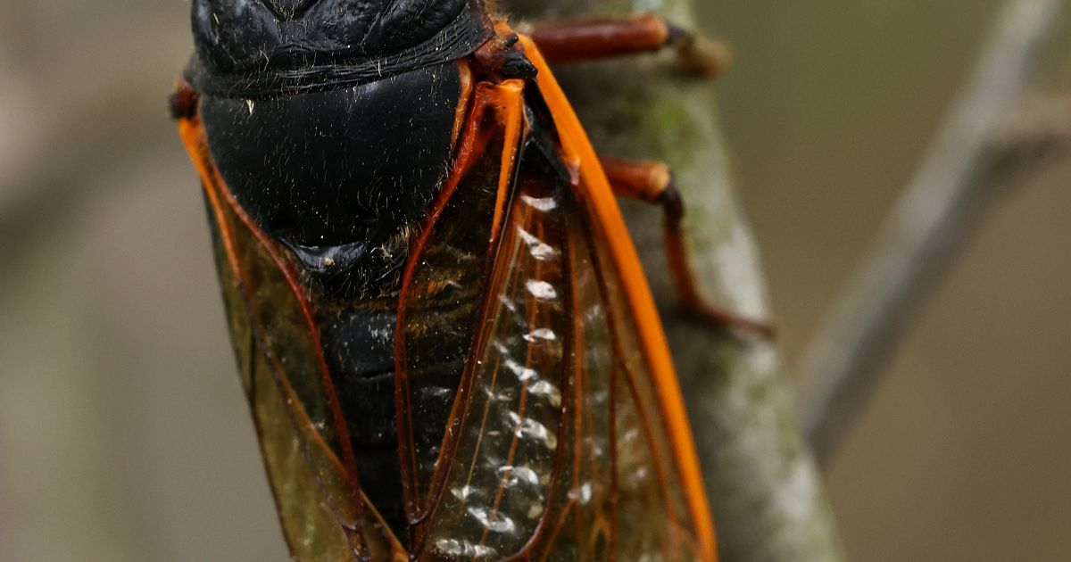 Trillions of red-eyed cicadas rise from the earth after 17 years underground