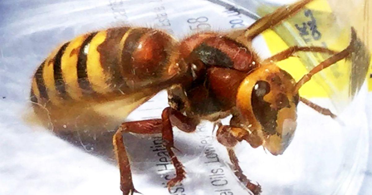'Killer' Asian hornets set to hit record levels in UK this year