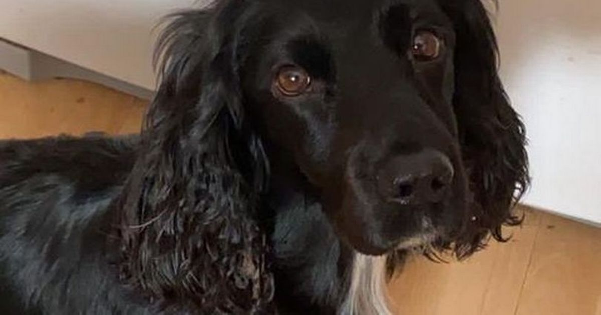 Cocker Spaniel dies from Alabama Rot - urgent warning to dog owners