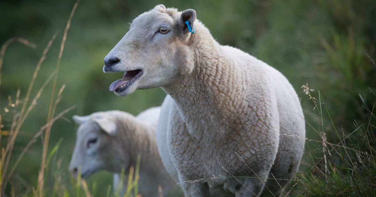 Dog attacks on farm animals have risen sharply, research shows