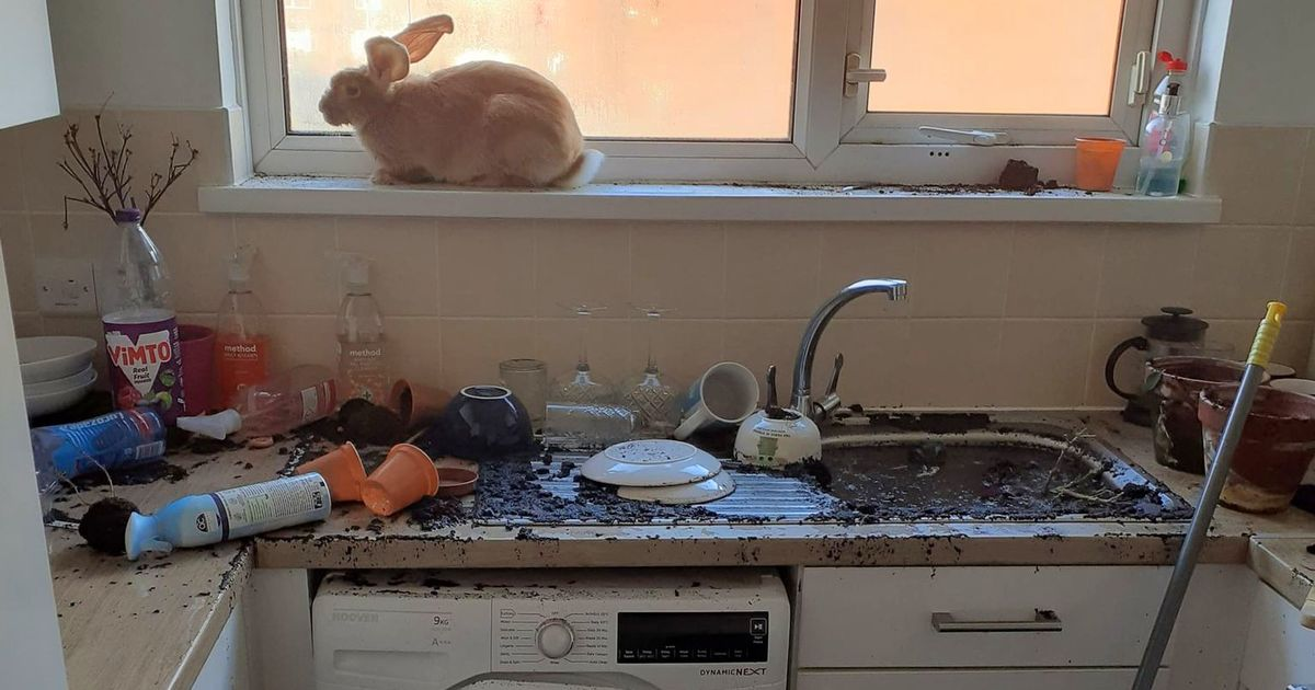 Kitchen flooded by 'mischievous' rabbit who blocks plug with soil
