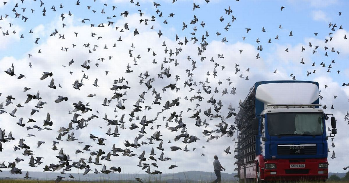 Mystery of vanishing racing pigeons as thousands disappear during flight