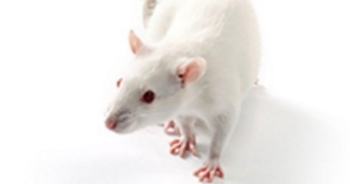 Scientists force male rats to give birth in 'vile Frankenscience' experiments