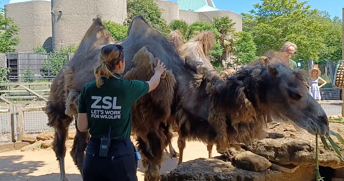 Watch: London Zoo camels get haircut on hottest day of the year