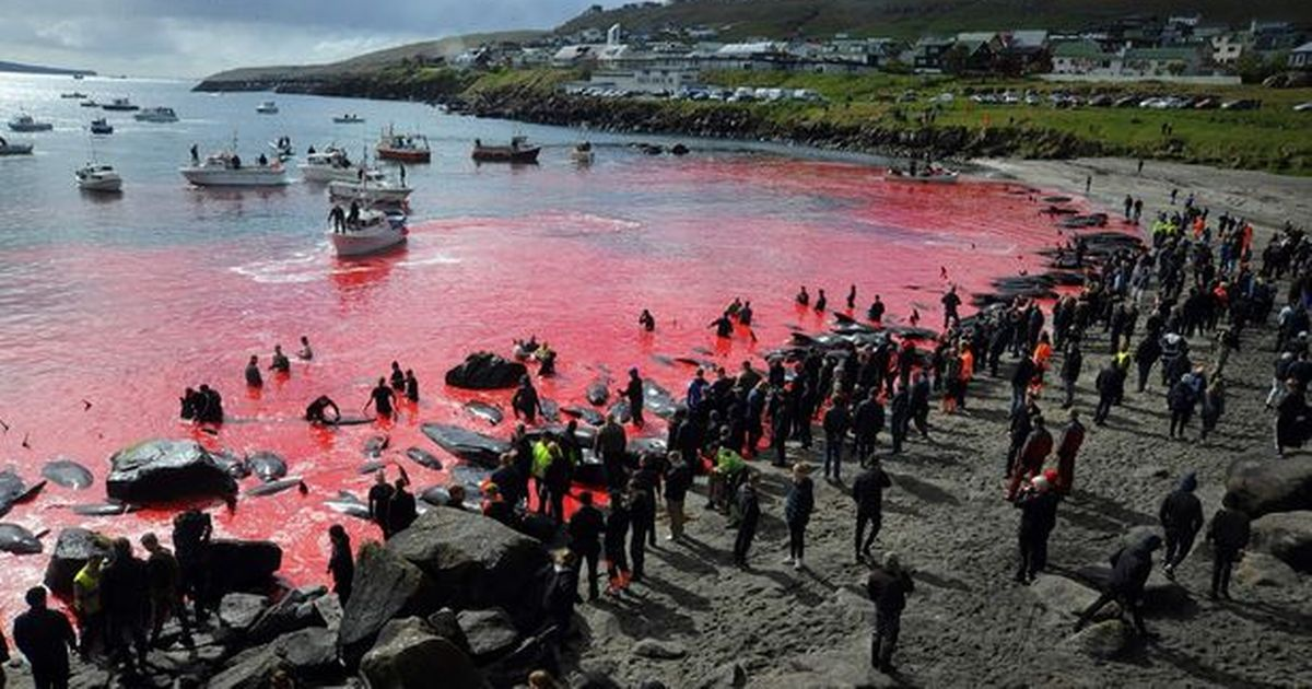 Whale's head impaled on spike as brutal slaughter returns to green list islands