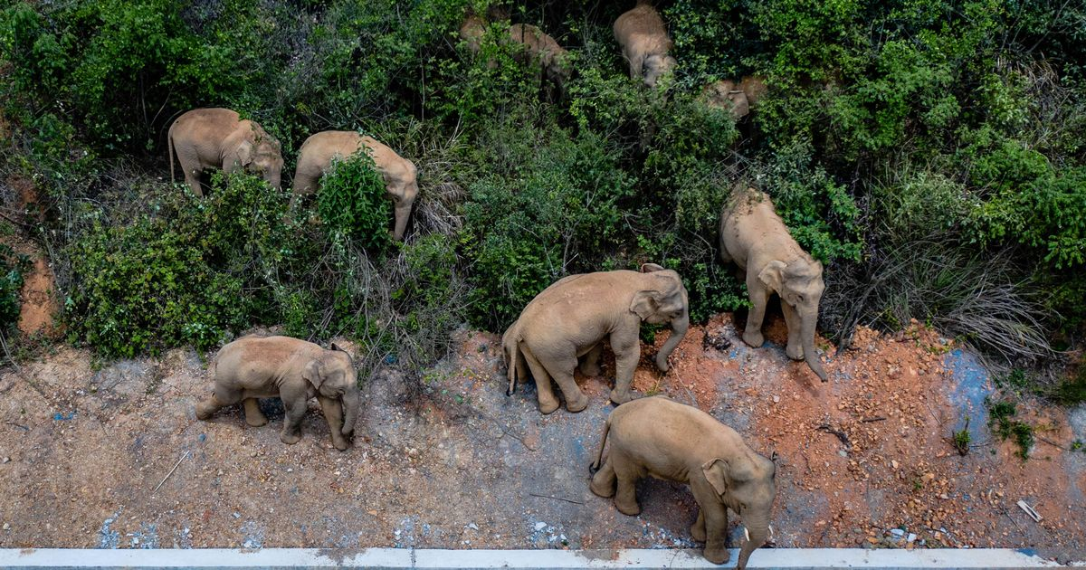 Wild elephants wander through two cities and leave 300-mile trail of destruction