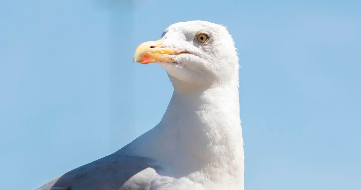 Council battling with pasky seagulls making beeline for wheelie bins