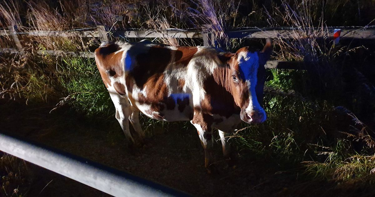 Cow let loose on M6 at night after 'idiots' forced gate open