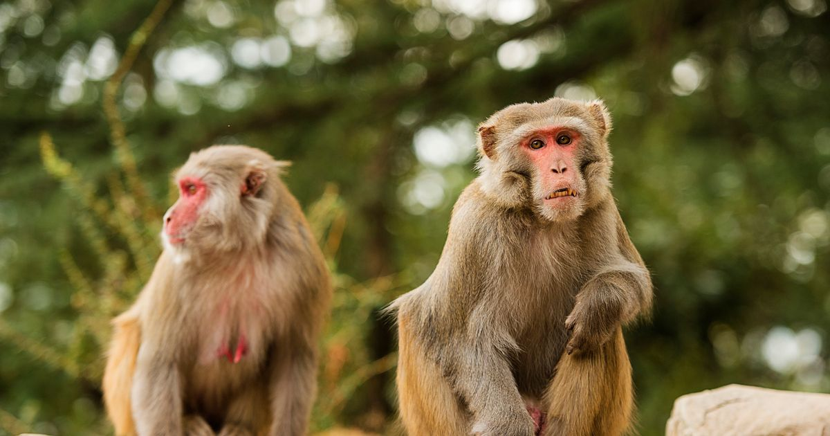 Man dies of rare Monkey-B virus that jumped to humans - symptoms to look out for