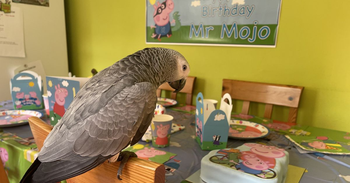 Mr Mojo the parrot celebrated his first birthday by oinking along to Peppa Pig