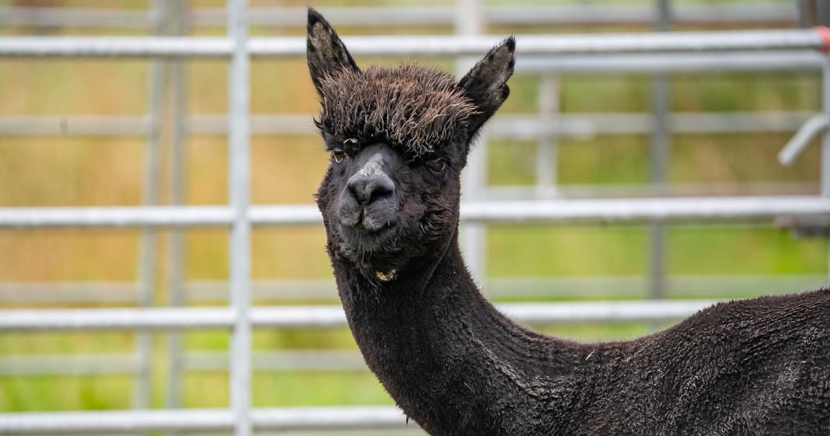 #SaveGeronimo the Alpaca merchandise launched to boost campaign to keep him alive