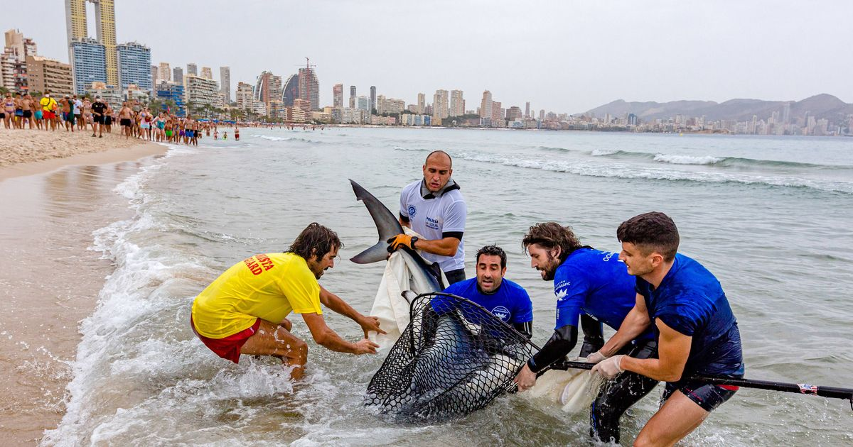 Shark spotted off Benidorm beach forces Brit holidaymakers to flee for safety