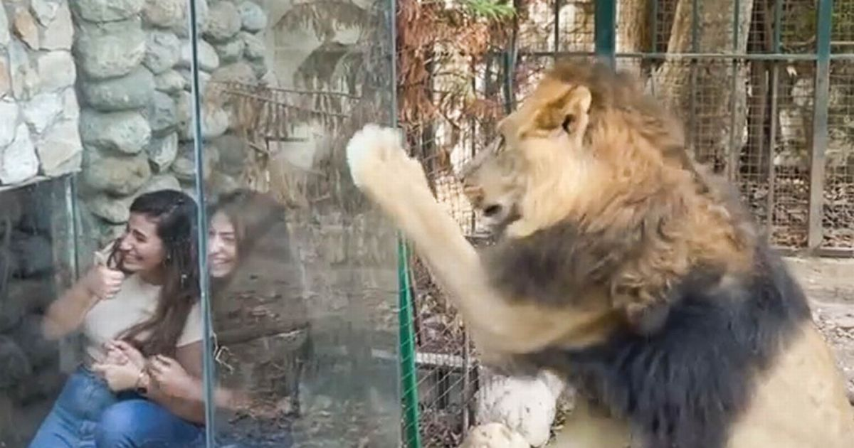 Zoo slammed over 'cruel' glass box that lets visitors tease frustrated lion