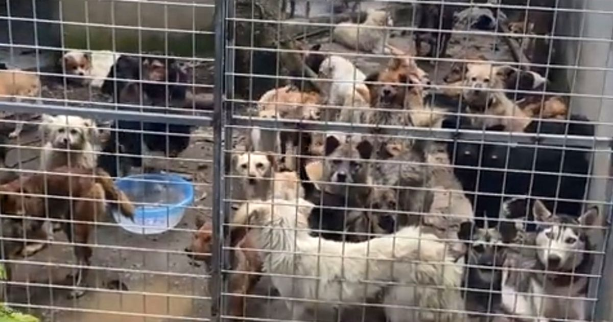 Almost 200 dogs have been saved from certain death in China after being found crammed into tiny cages at a slaughterhouse