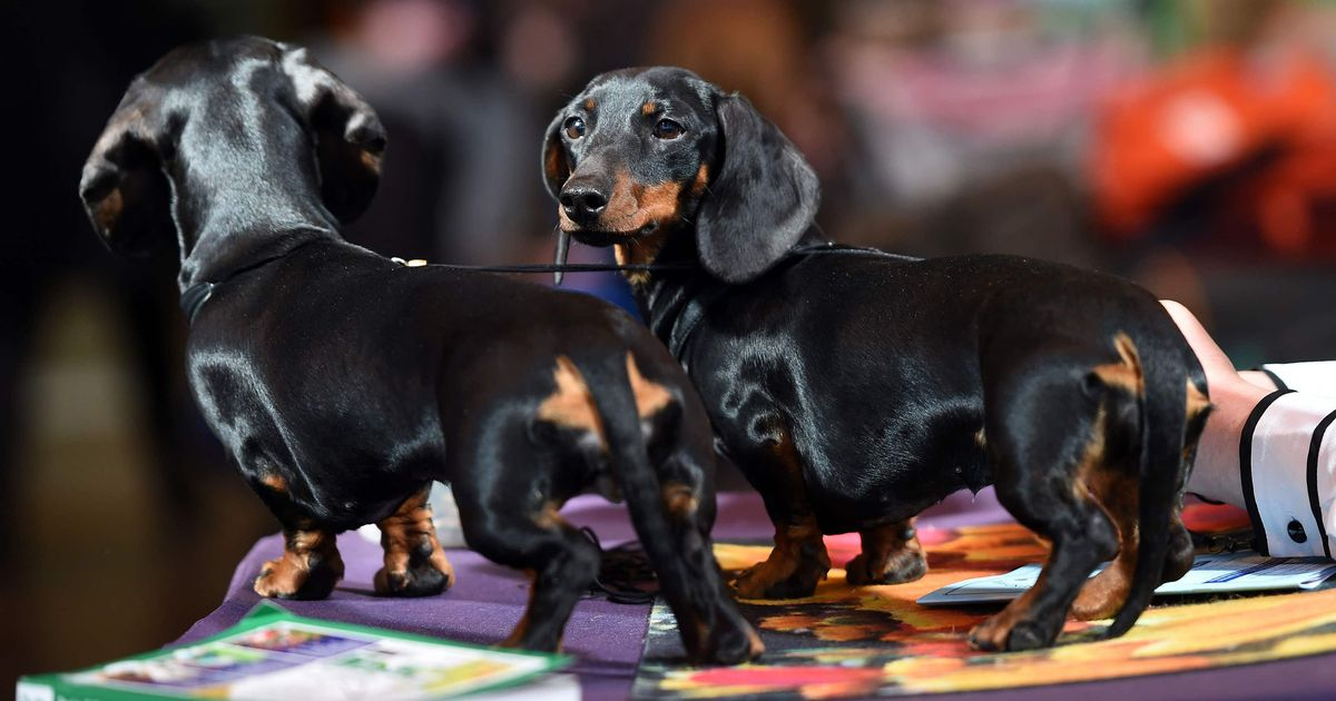 Dachshunds should no longer be bred with exaggerated features to 'look cute'