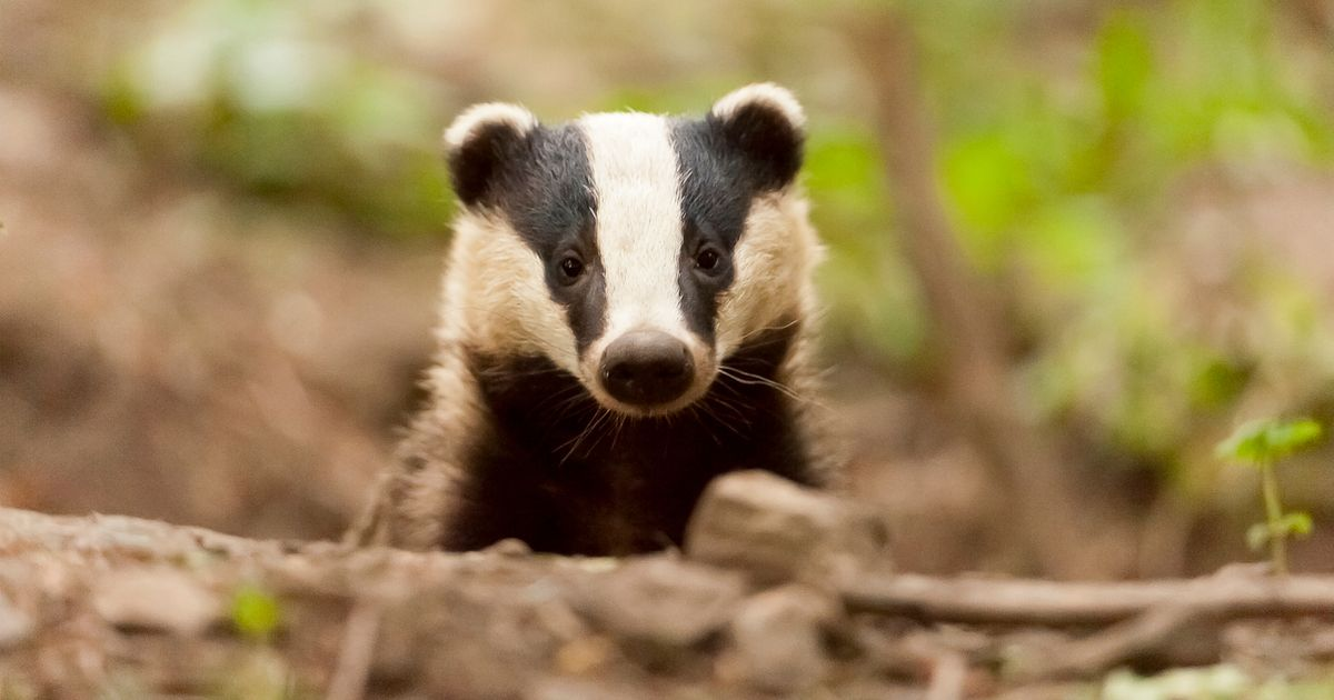 Does culling badgers stop TB? Government extends kill zones