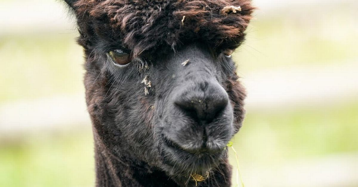 Geronimo owner fears she will never bury alpaca claiming  government officials refuse to hand over pet's remains