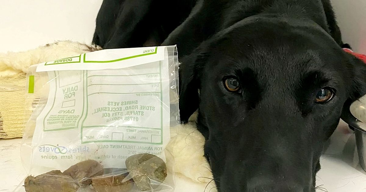 Greedy lab lucky to be alive after eating 11 rocks during het walk