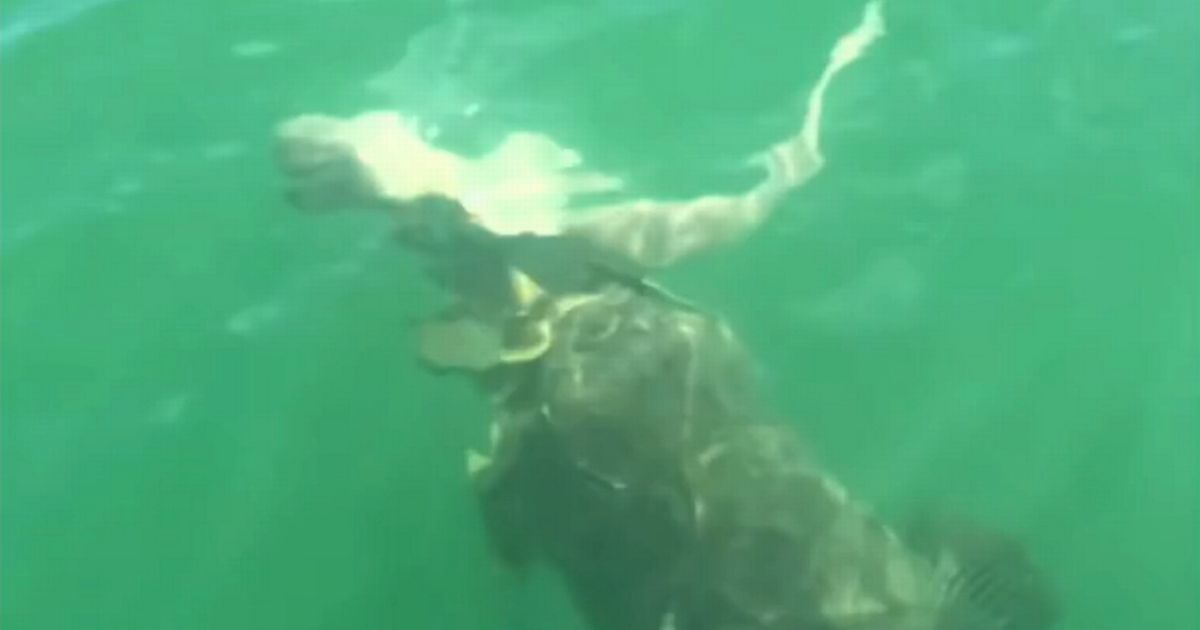Incredible moment shark is eaten by massive fish as fishermen watch on in shock