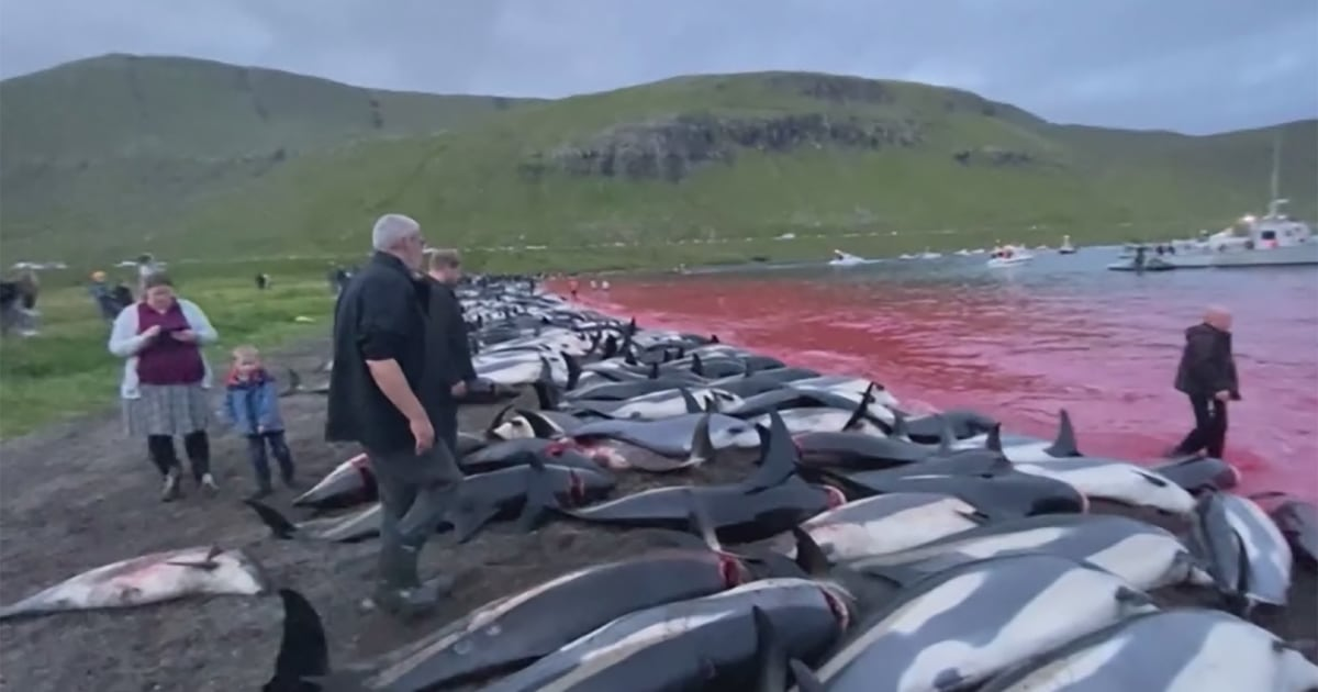 More than 1,400 dolphins killed in traditional Faroe Islands hunt