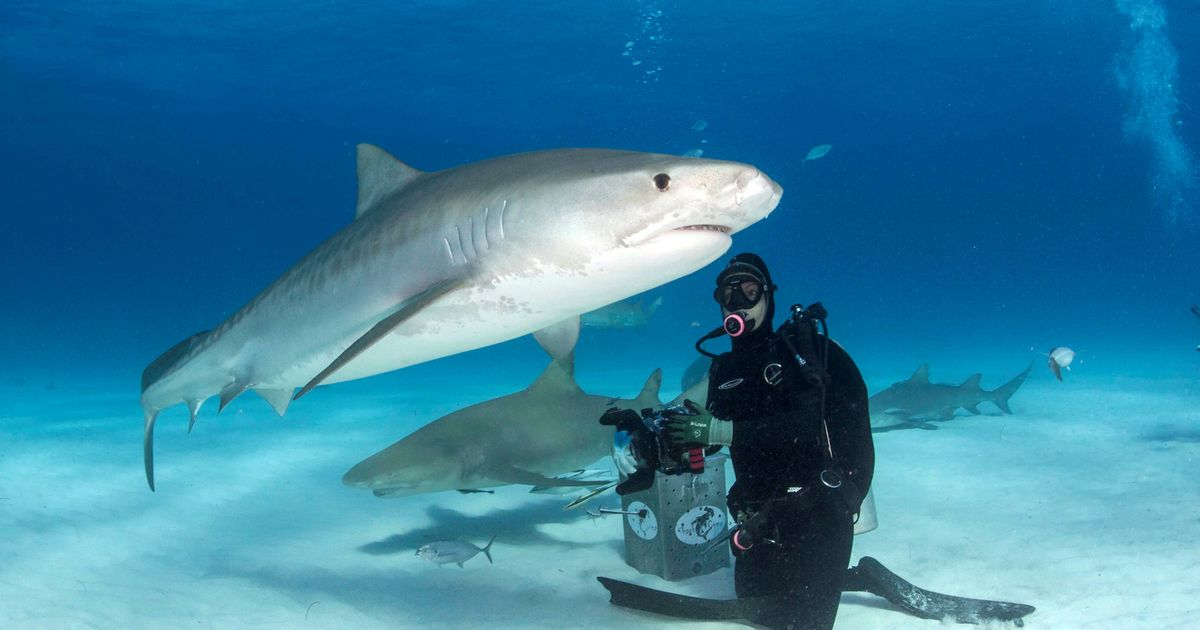 New discovery makes man-eating tiger sharks even more deadly