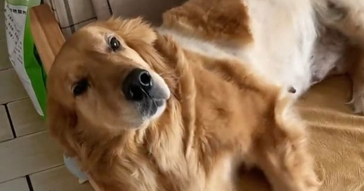 Adorable dog has cute routine of 'talking' to her owner whenever she needs him