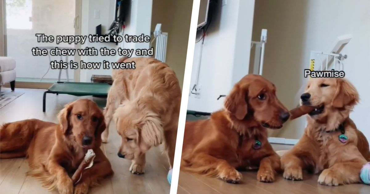 Golden retriever tries to sneakily steal brother's chew in amusing sibling spat