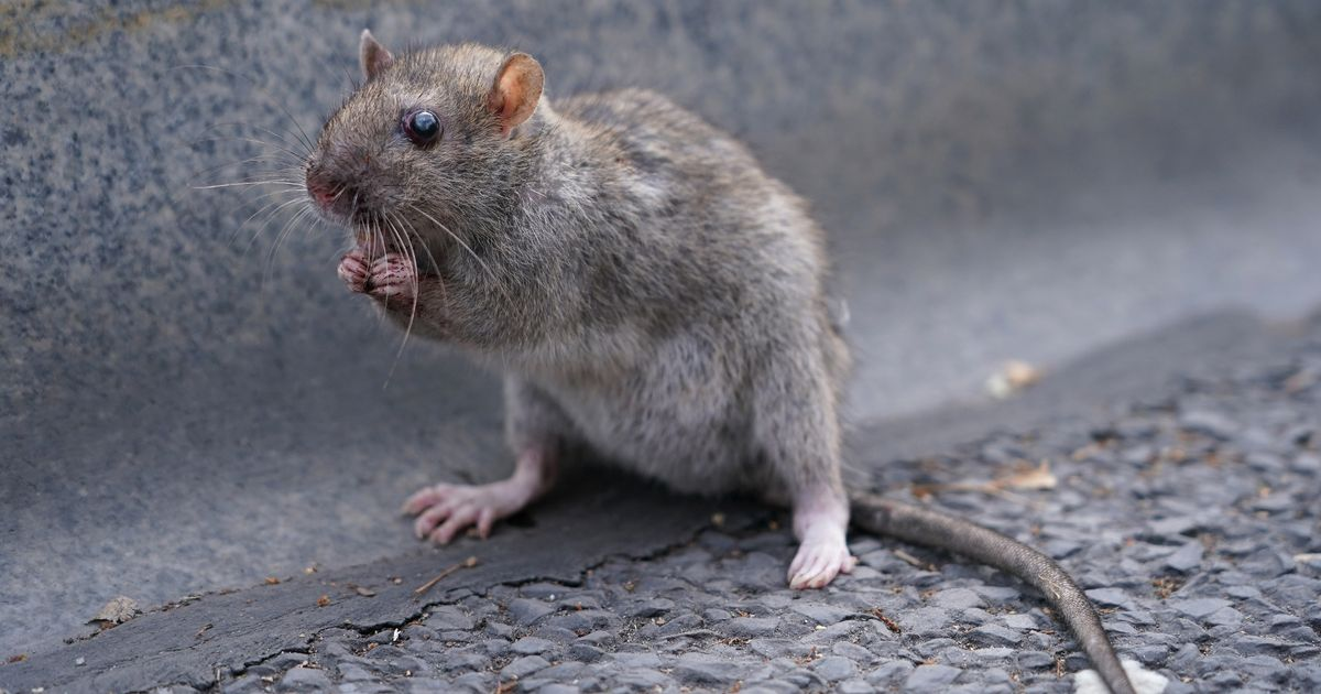 How to stop rats and mice getting into your house this autumn