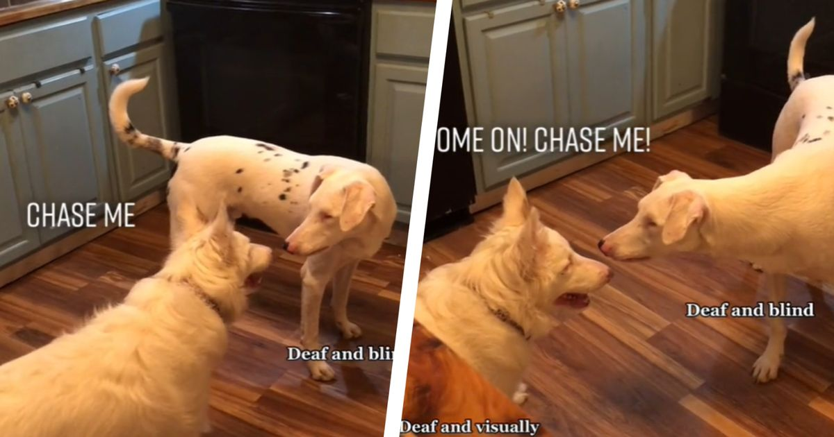 Loving owner captures deaf and blind dogs playing together - and it's impossibly cute