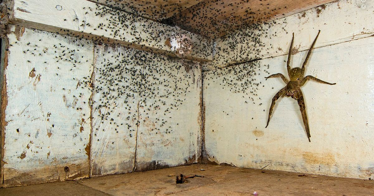 Gil Wizen found this Ecuadorian Amazon spider guarding a thousand babies that hatched from an egg sac under his bed