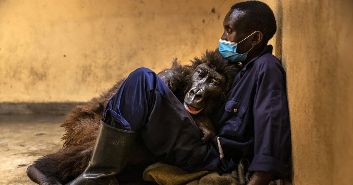 Mountain gorilla who became selfie star dies in the arms of her caretaker