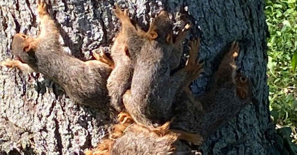 The seven squirrels after they got their tails tangled