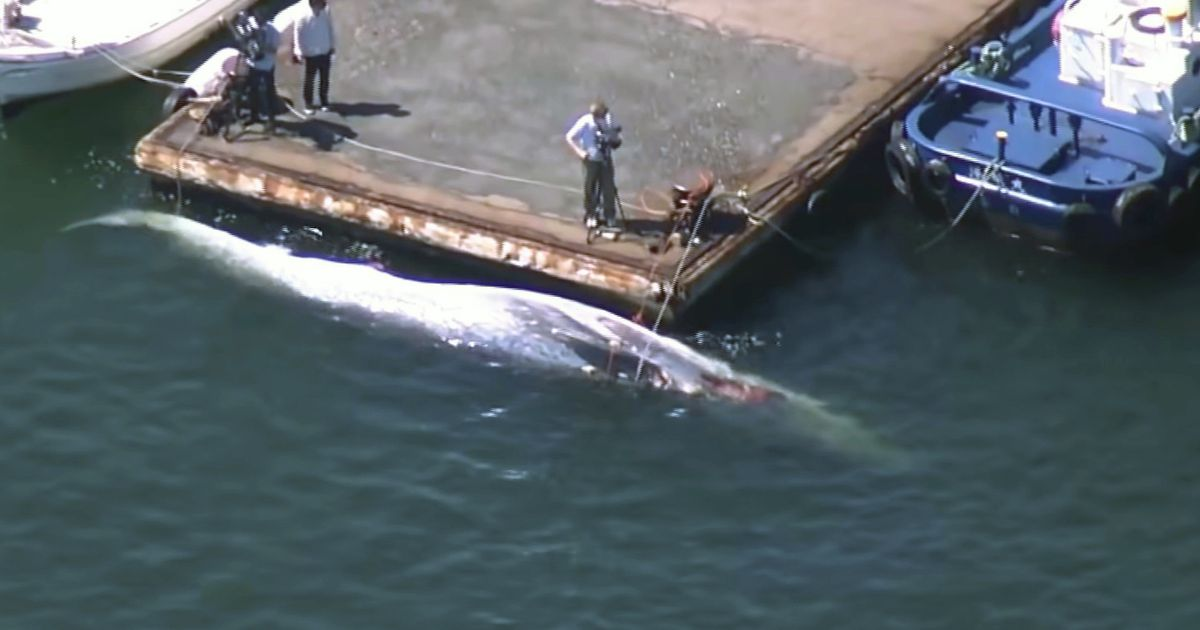 Shocking photo of 39ft-long whale crushed and dragged across the Pacific Ocean