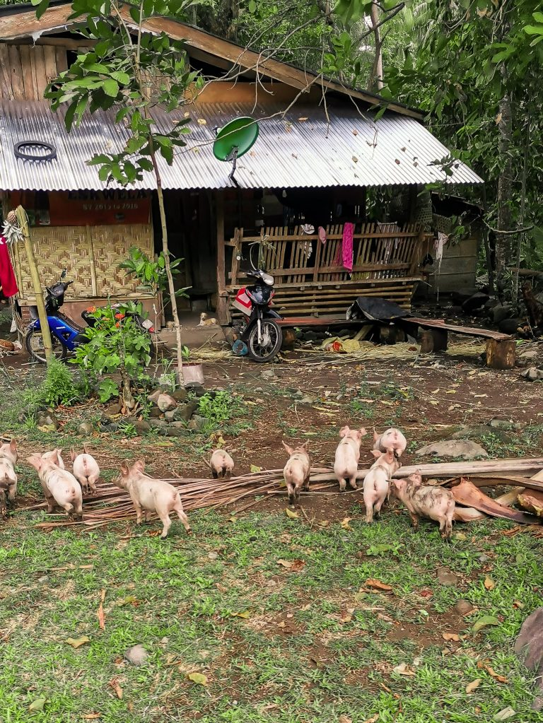 Cruising around Camiguin we often came across farmed animals near the villagers houses. Here a bunch of cute piglets were feeding in the porch of the house.