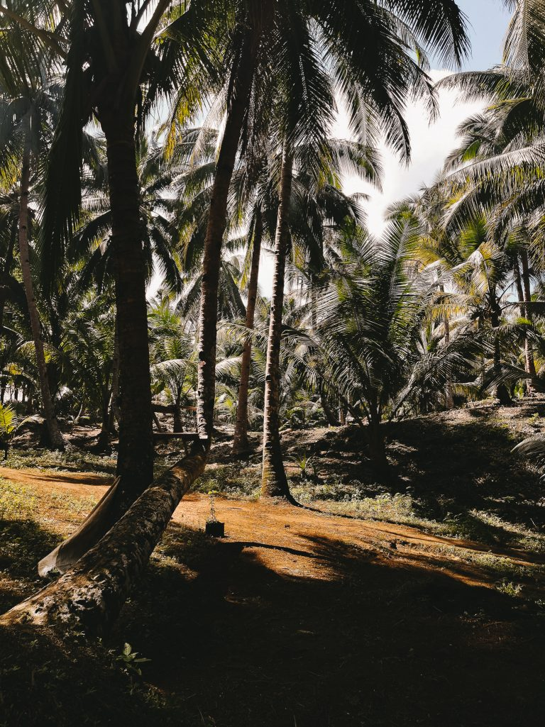 the coconut trees along the path to secret beach which makes this beach a hidden tourist spot on Siargao