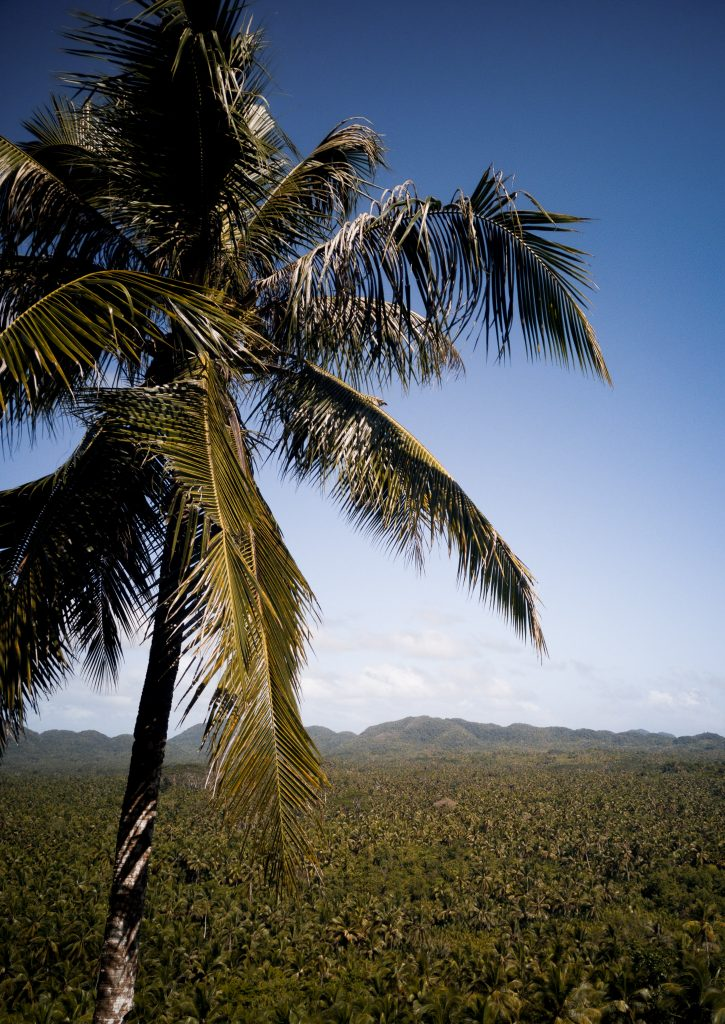 A closeup coconut tree with thousands of coconut trees in the background at the Coconut Trees View Deck Siargao