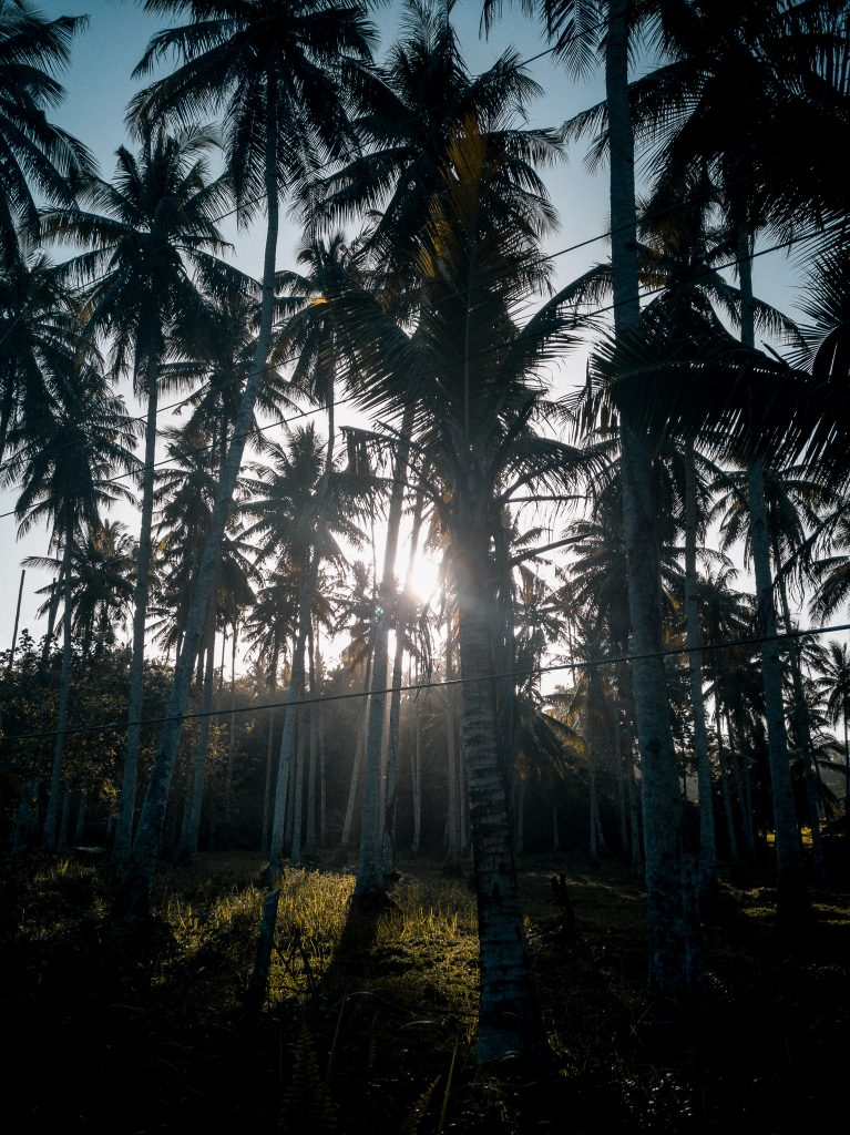 Lined coconut trees at Little Hawaii in Burgos