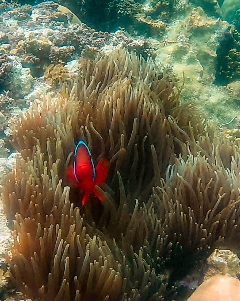 A clownfish (nemo) taking a peak out of his home in a swaying marine plant