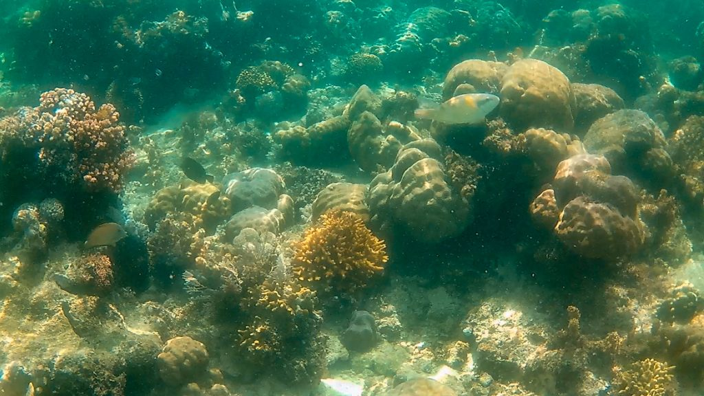The oceanbed at Tubod is scattered with corals , sea urchins and blue starfish