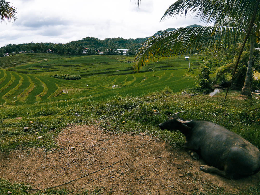 A carabao resting in the middle of the fields