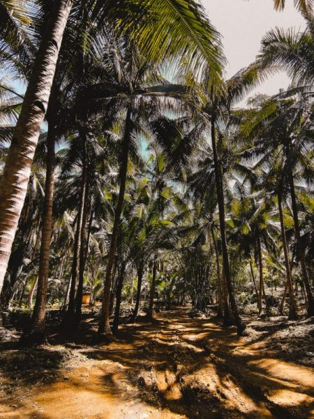 the beautiful landscape at Secret Beach with thousands of coconut trees